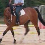 Entrenamiento de caballos: Fase de musculación