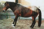 Laminitis en equinos: Síntomas, causas y tratamiento