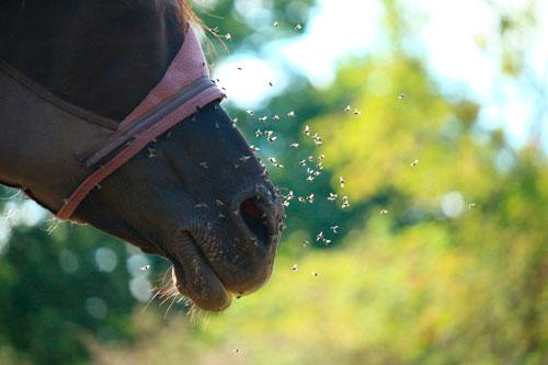 cómo eliminar las moscas de los caballos