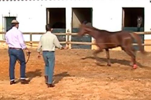 El Trabajo a la Cuerda: ¿Cómo dar cuerda al caballo joven?