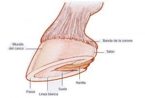 Cómo Mantener Sanos los Cascos del Caballo: Anatomía y Cuidados