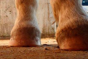 "El Barefoot : Técnica para Mantener ""Descalzos"" a los Caballos"