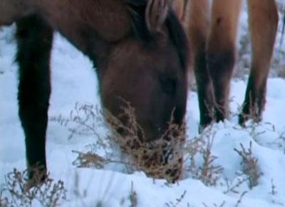 caballo salvaje alimentándose