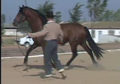 Trabajo a la cuerda de caballo andaluz