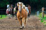 El Poni: TODO acerca de este tipo de caballo