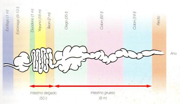 sistema digestivo del caballo